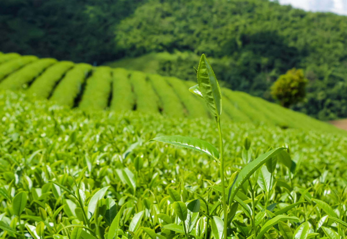 tea-leaf-field